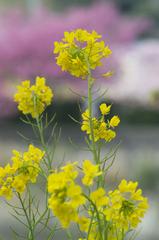 河津の菜の花