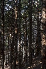 巣雲山の杉
