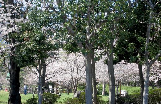 新浦安の公園の桜