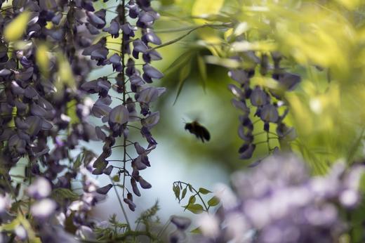藤の花と蜂