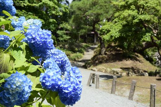 庭園の紫陽花