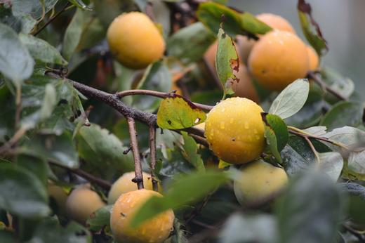 台風19号に濡れる庭の柿