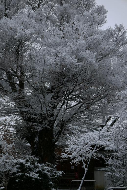 雪化粧した大木