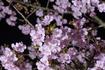 夜の河津桜