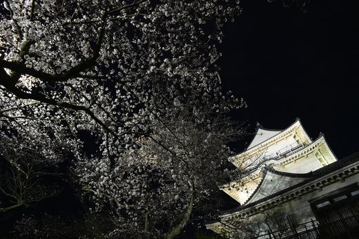 小田原城とサクラ