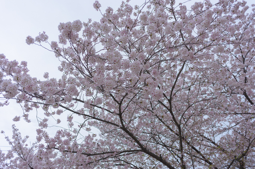 春日井の桜