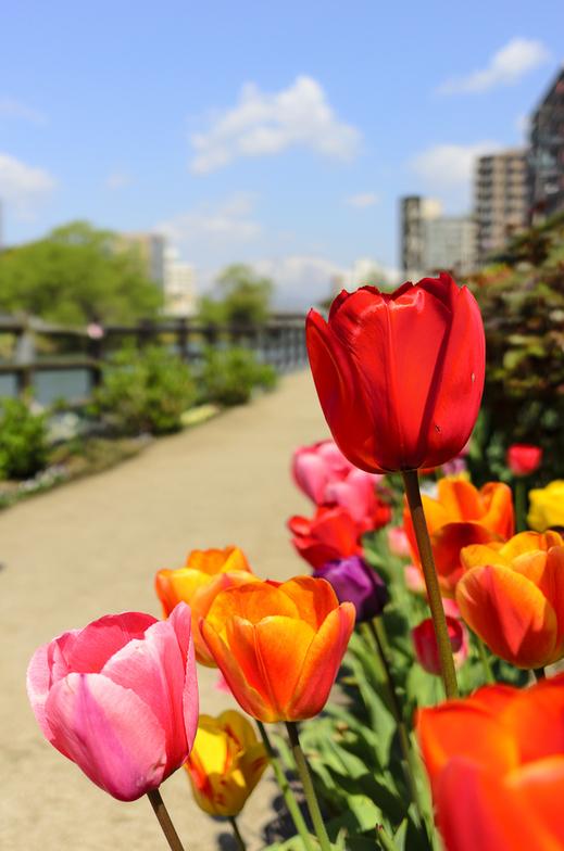 開運橋花壇のチューリップ