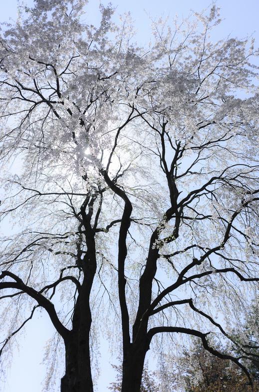 盛岡の桜を太陽に向かって