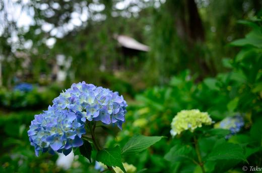 鐘撞き堂をバックに紫陽花