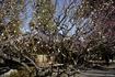 咲き乱れる梅の花