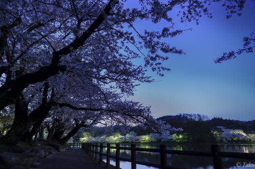 高松の池で夜桜