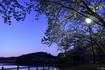 高松の池の桜