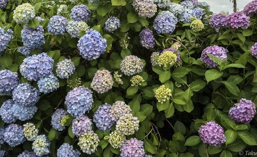 近所のショッピングモールの紫陽花